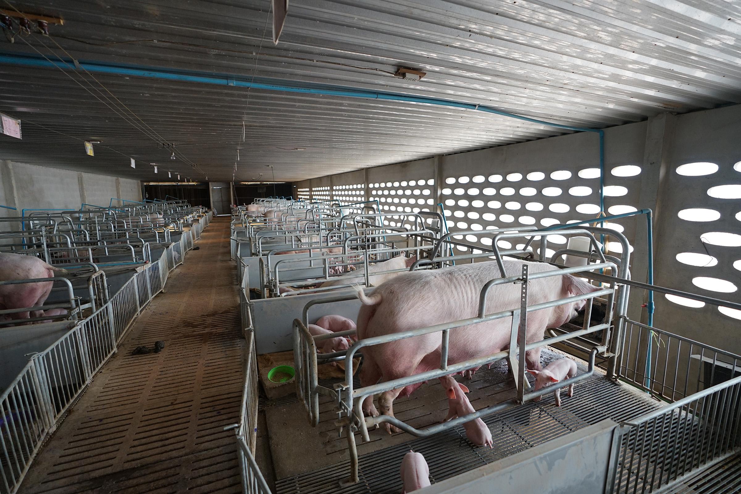 豚肉企業の時価総額が度々高値を更新 神農股份が再びIPO申請